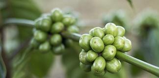Zelena kava je kao dobar način za učinkovito mršavljenje