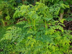 Moringa Oleifera - itu layak beli? testimoni dokter dan konsumen.