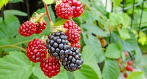 hol lehet venni Home Berry Box – ár – gyógyszertár – hatások – ebay – amazon – aliexpress